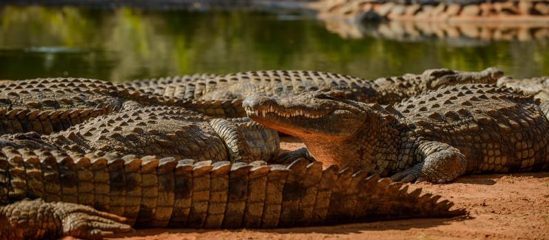 Seronera Crocodile farm